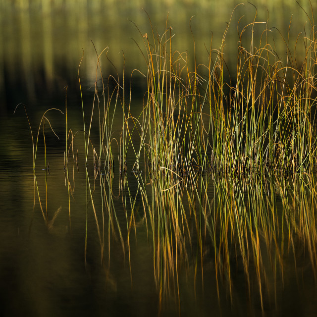"""""""Reeds abstract"""" stock image"""