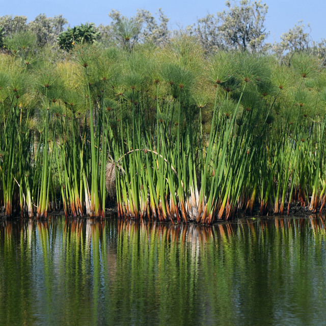 """""""Reflection of reeds in the Kirstenbosch National Botanical Garden"""" stock image"""