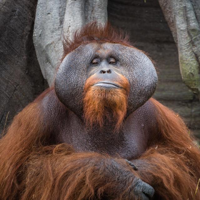 """A captive adult Orangutan portrait"" stock image"