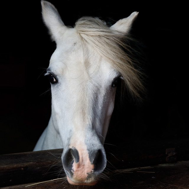 """Portrait of a White Pony"" stock image"