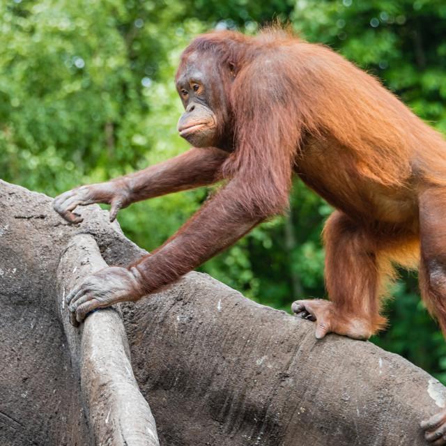"""""""An Orangutan climbs a tree"""" stock image"""