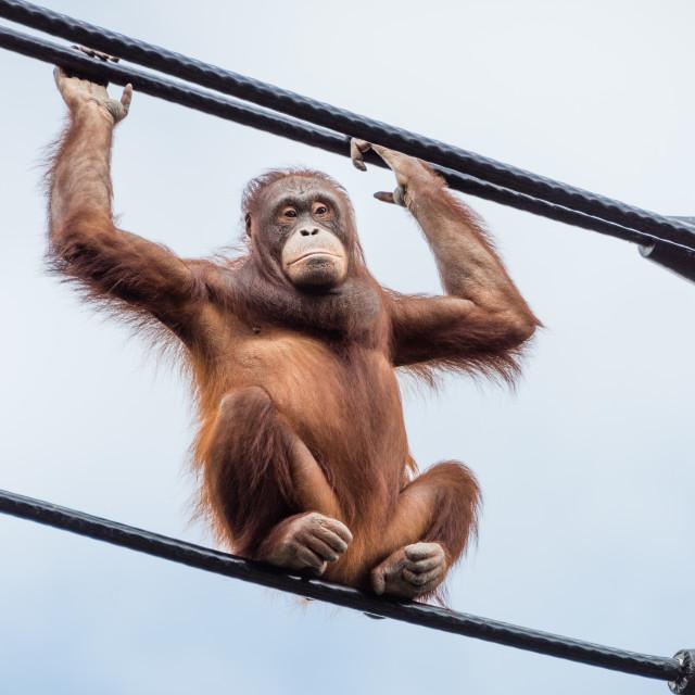 """Orangutan on overhead cables"" stock image"