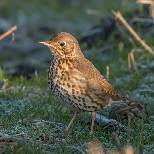 """Song Thrush - Turdus philomelos"" stock image"