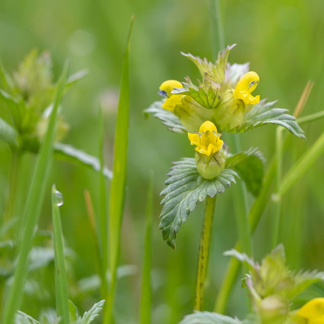 """Yellow rattle - Rhinanthus minor"" stock image"
