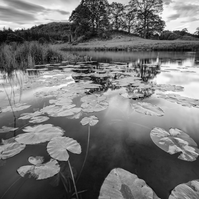 """""""Elterwater water lily"""" stock image"""