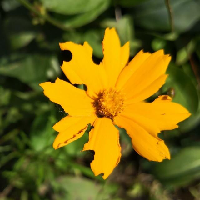 """""""Coreopsis punasens"""" stock image"""