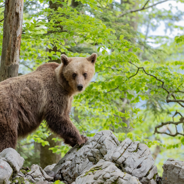 """Brown bear - Ursus arctus"" stock image"