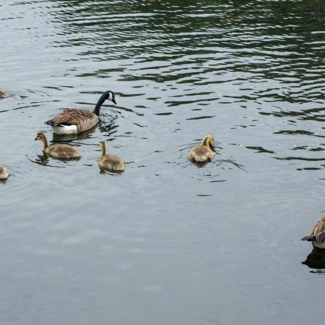 """""""Canada Geese with Goslings"""" stock image"""