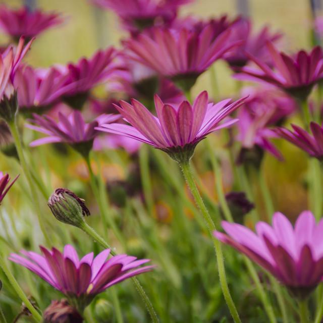 """""""Echinacea flowers"""" stock image"""