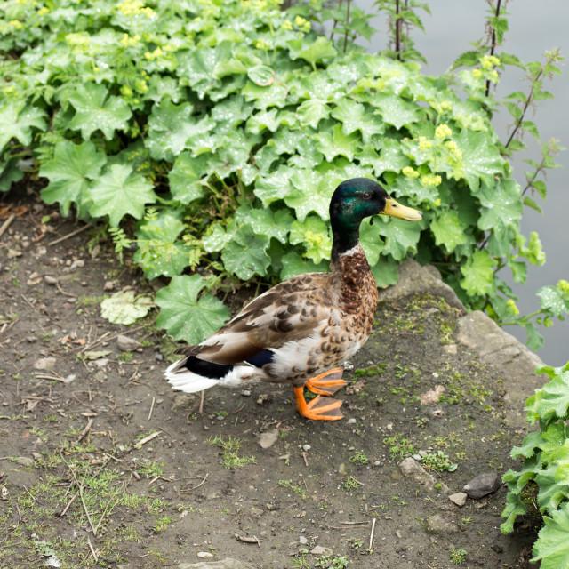 """Mallard Duck"" stock image"