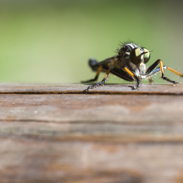 """""""Common Awl Robberfly"""" stock image"""