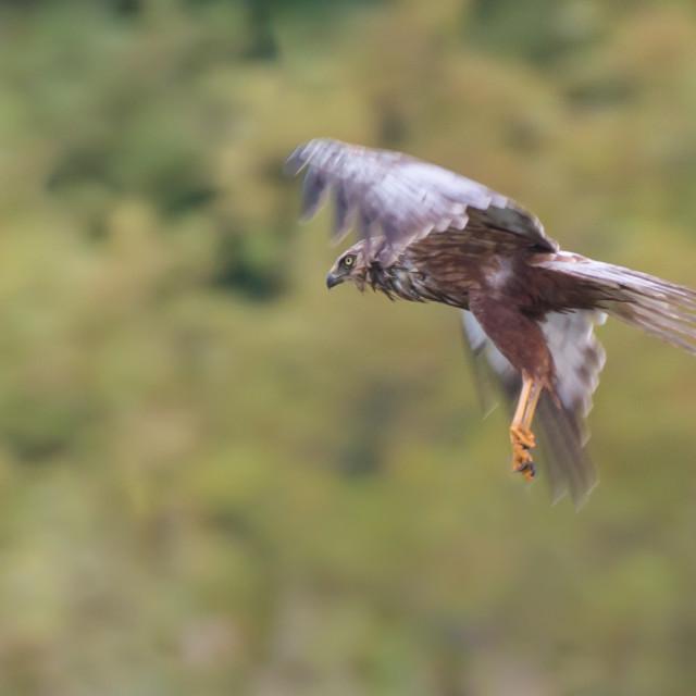 """""""Male Marsh Harrier"""" stock image"""