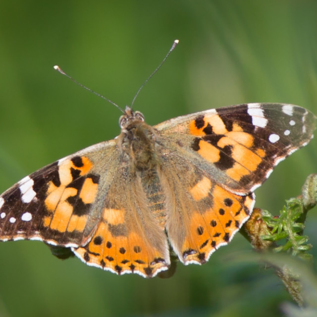 """""""A Painted Lady"""" stock image"""