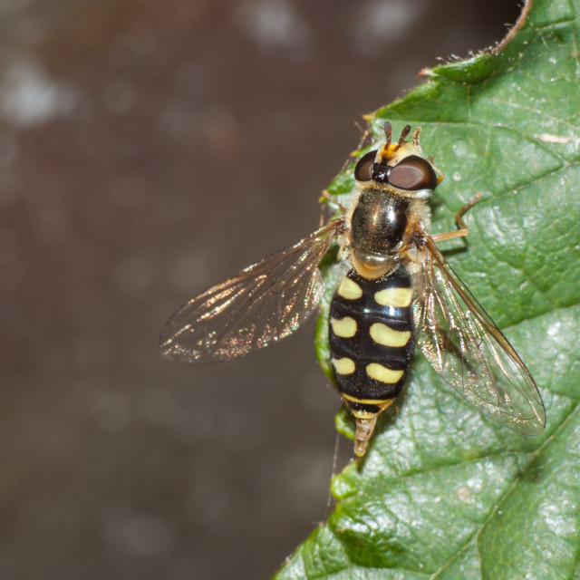 """""""Hoverfly"""" stock image"""
