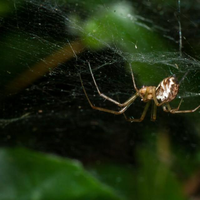 """Sheet Web Spider"" stock image"