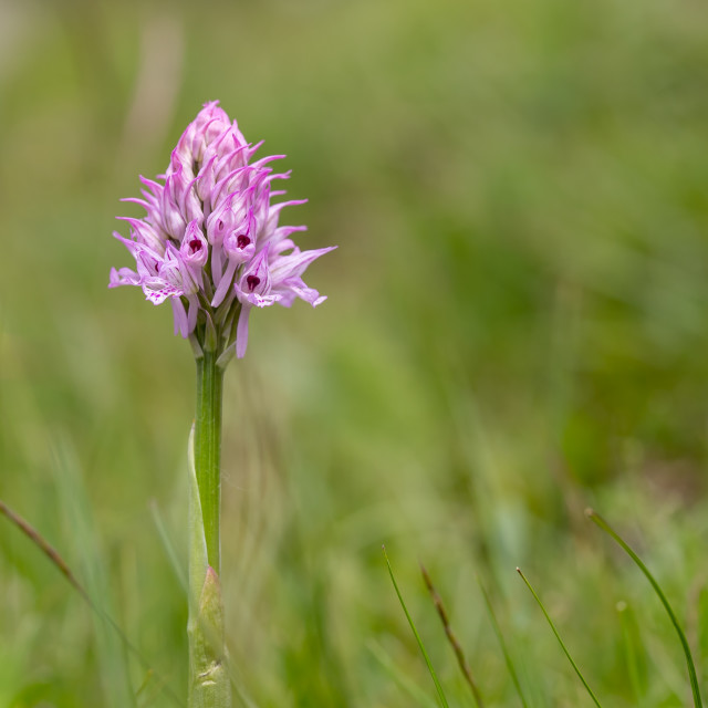 """""""Three-toothed orchid - Neotinea tridentata"""" stock image"""