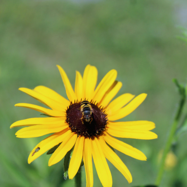 """bee on black eyed susan"" stock image"