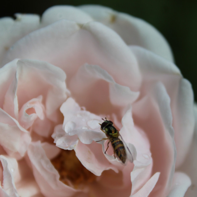 """""""bee on rose"""" stock image"""