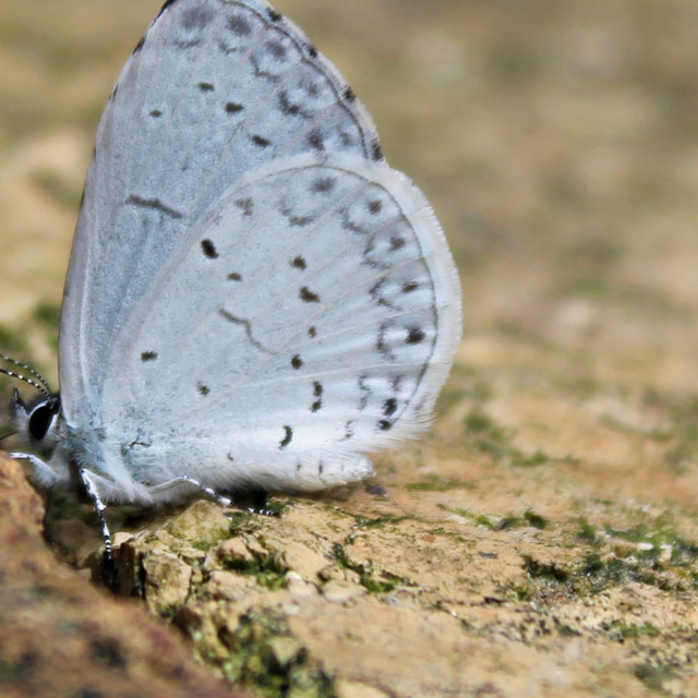 """blue grey butterfly"" stock image"