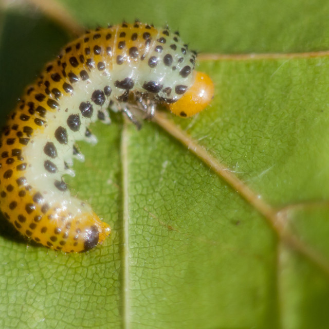 """""""Large Rose Sawfly Larvae"""" stock image"""