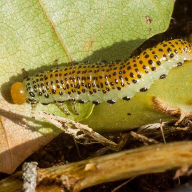 """Large Rose Sawfly Caterpillar"" stock image"