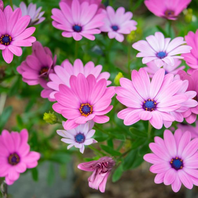 """""""Cape daisies (Osteospermum)"""" stock image"""