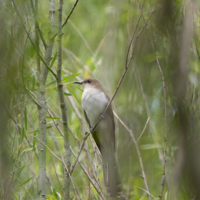 """Black-billed Cuckoo"" stock image"