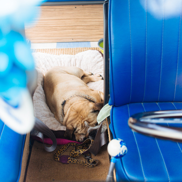 """""""Van Dog Sleeping"""" stock image"""