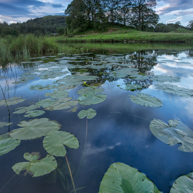 """""""Lily pads and reflections"""" stock image"""