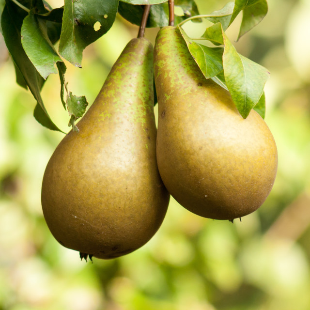 """""""Pair of Pears"""" stock image"""