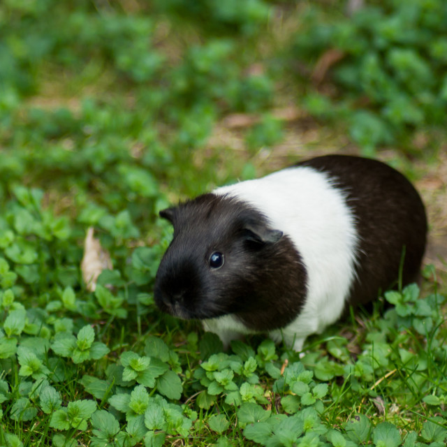 """Guinea Pig"" stock image"