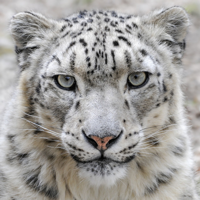 """Male snow leopard looking into camera"" stock image"