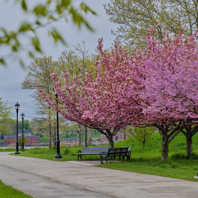 """""""Pink tree blossoms, green grass and leaves in park in spring in"""" stock image"""