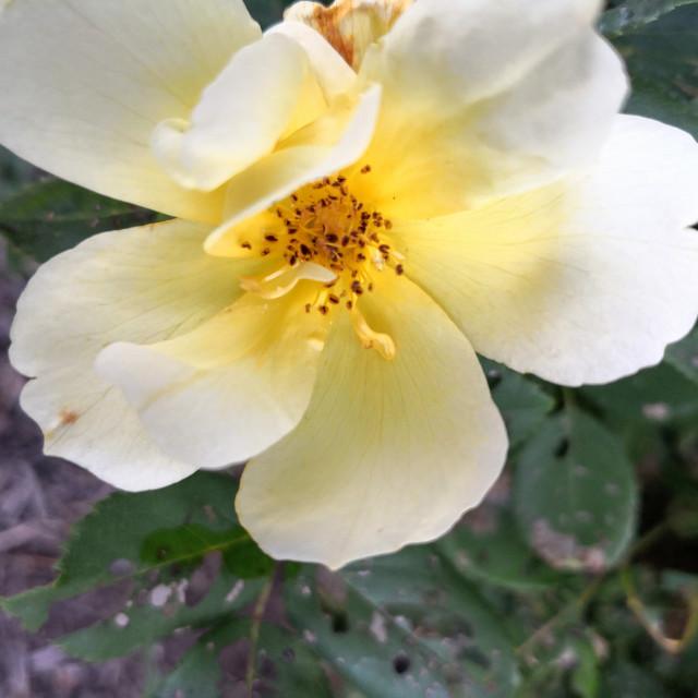 """Rosa Harrison's Yellow"" stock image"