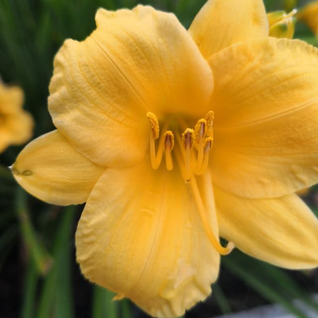 """""""Yellow Daylillies"""" stock image"""