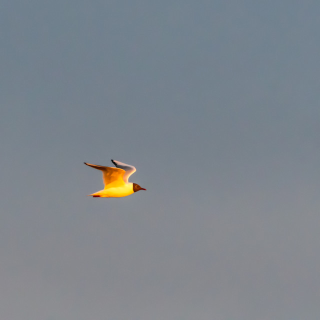 """""""Black-headed Gull in flight against a cloudless sky"""" stock image"""