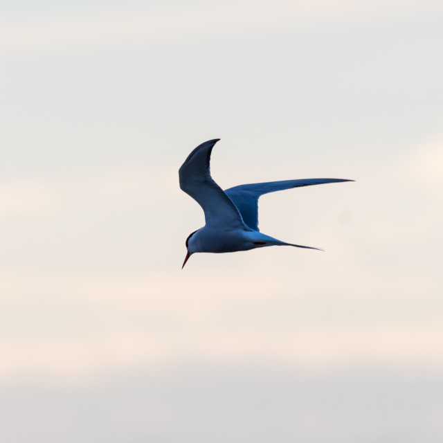 """""""Common Tern in graceful fishing flight by a colored sky"""" stock image"""