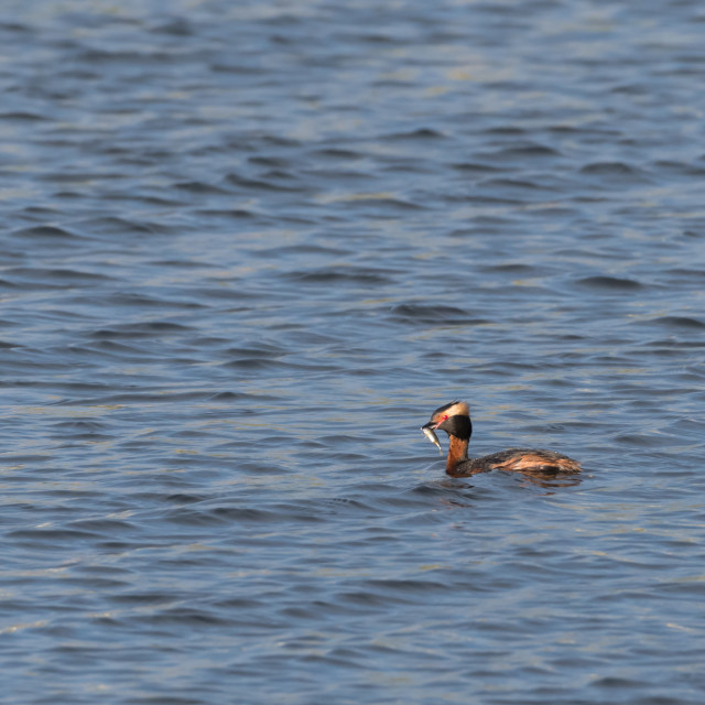 """""""Slovenian Grebe with a small fish"""" stock image"""