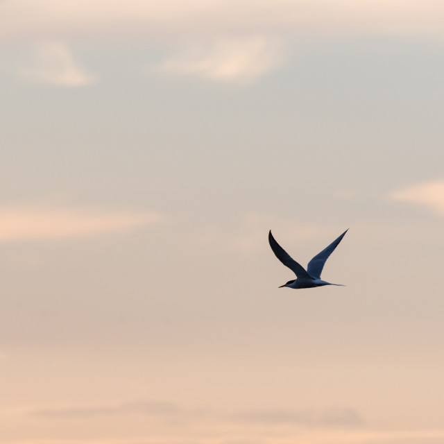 """""""Graceful flight, Common Tern by a colored sky"""" stock image"""