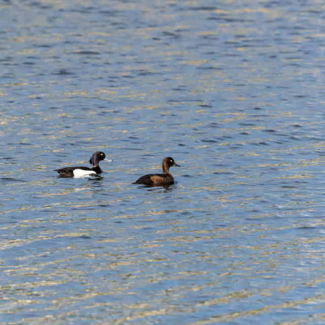"""""""Couple of Tufted Ducks swimming in glittering water"""" stock image"""