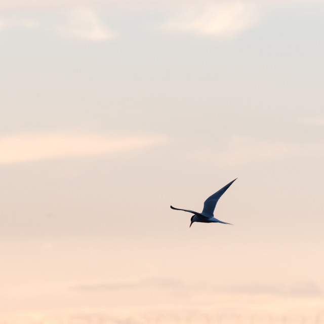 """""""Common Tern in graceful flight by a colored sky"""" stock image"""