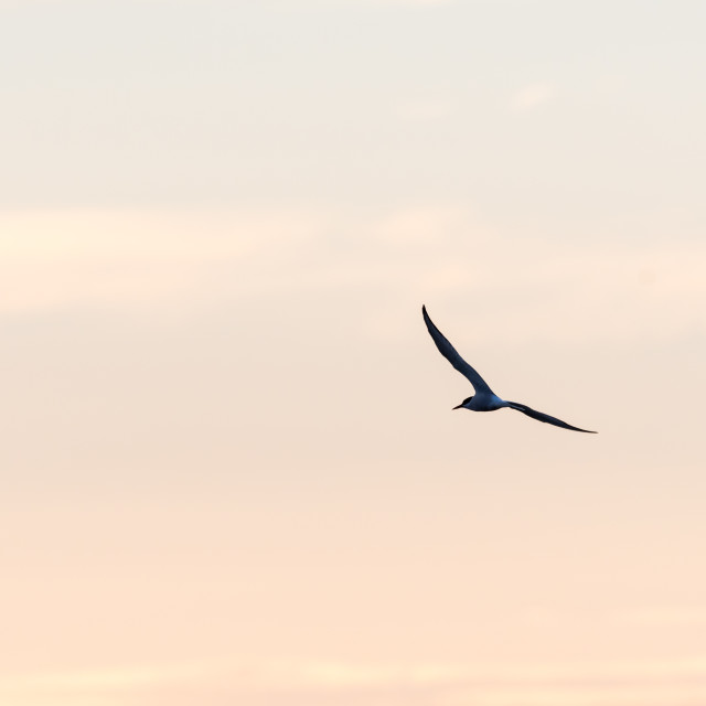 """""""Tern in beautiful flight by a colored sky"""" stock image"""