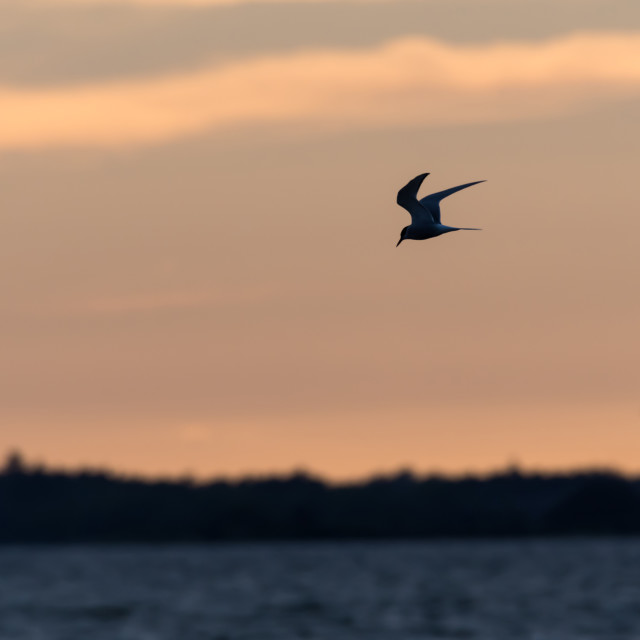 """""""Common Tern fishing by twilight time"""" stock image"""