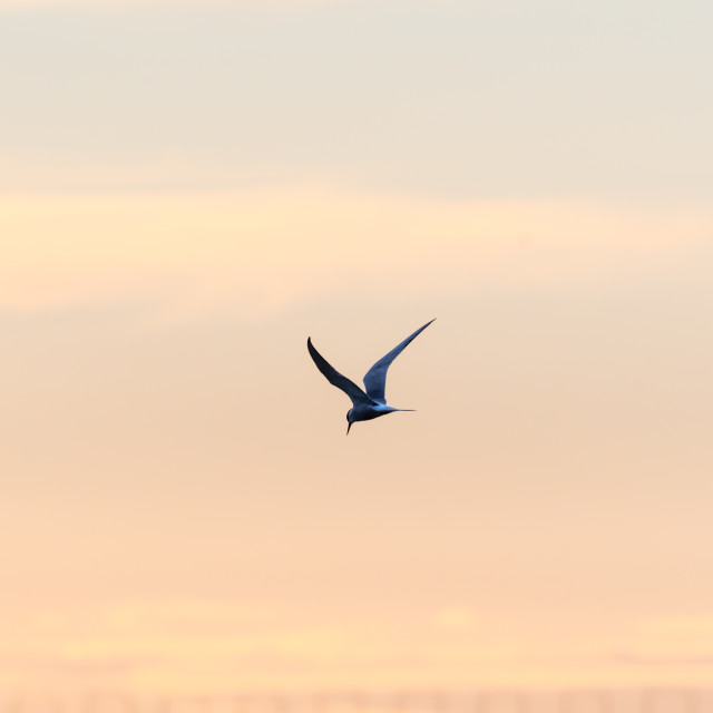 """""""Beauty in nature, a Common Tern in graceful flight by sunset"""" stock image"""