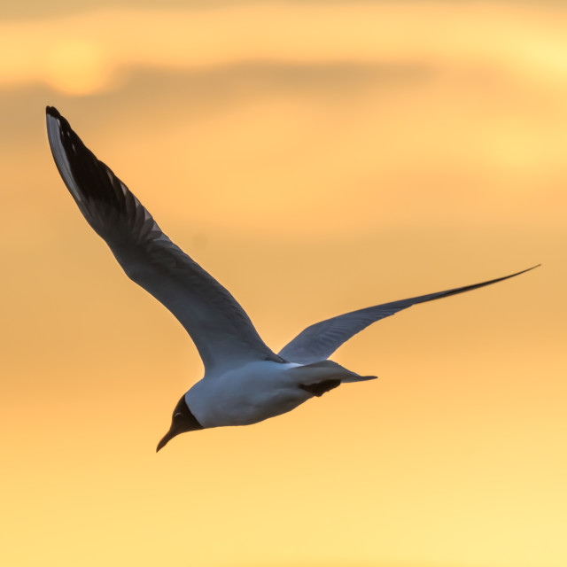 """""""Elegant Black headed Gull by a colored sky"""" stock image"""