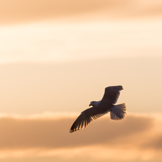 """""""Flying Herring Gull by a colored sky"""" stock image"""