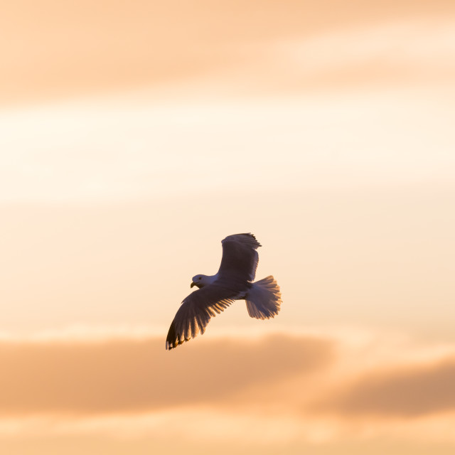 """Herring Gull in flight with spread wings"" stock image"
