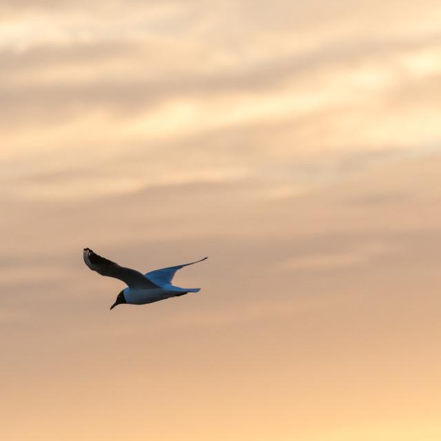 """Black-headed Gull in gracil flight"" stock image"