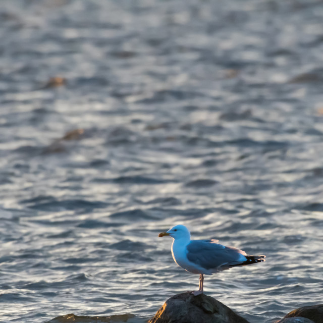 """European Herring Gull standing on a rock in the evening sunhine"" stock image"