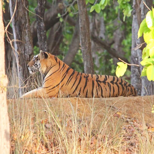 """Royal Bengal Tiger, India."" stock image"